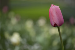 Tulips. Pink tulip against green background Royalty Free Stock Photo