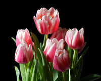 Tulips. Pink and white tulips with black background Stock Photo