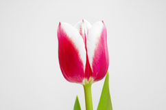 Tulips pistil stamen red pink flowers spring summer holiday.  Royalty Free Stock Images