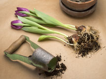 Tulips and planter. Tulipa with planter for bulbs and pot Stock Images