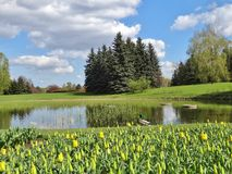 Tulips ,pond and duck - Spring Stock Photography