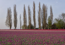 Tulips With Poplar Trees Stock Image