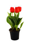 Tulips in the pot Royalty Free Stock Photo