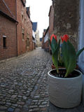 Tulips pot in Leuven Beguinage Stock Photography