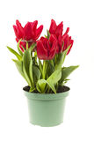 Tulips in a pot Royalty Free Stock Photo