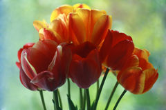 Tulips in the pot Stock Photos