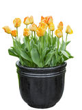 Tulips in the pot Stock Photography