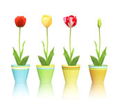 Tulips in pots Royalty Free Stock Photography