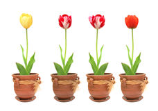 Tulips in pots Royalty Free Stock Image