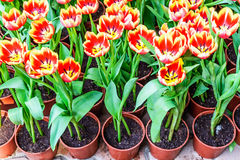Tulips in pots for planting. Royalty Free Stock Images