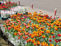Tulips potted flowers for sale on the street. Potted tulip flowers for sale on the street Royalty Free Stock Images