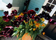 Tulips pretos Fotografia de Stock Royalty Free