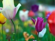 Tulips in public garden Royalty Free Stock Photo