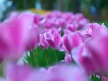 Tulips in public garden Royalty Free Stock Image