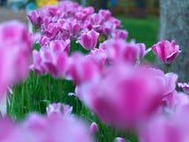 Tulips in public garden Stock Photos