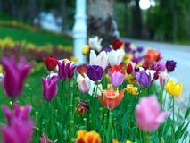 Tulips in public garden Royalty Free Stock Images