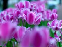 Tulips in public garden Royalty Free Stock Photos