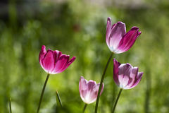 Tulips in purple Stock Photo