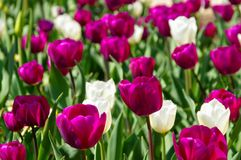 Tulips purple and white Stock Images