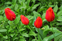 Tulips in rain Stock Image