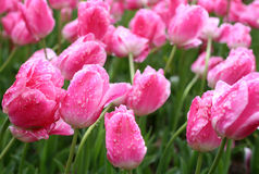 Tulips in the rain Stock Images