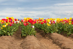 Tulips in Raised Rows Stock Images
