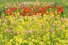 Tulips and rape blossoms. In the farm field Royalty Free Stock Photo