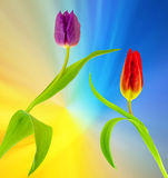 Tulips. In full bloom on a bluish yellow background stock photos