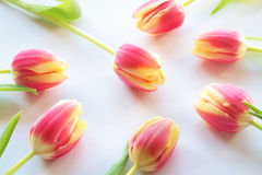 Tulips. Red tulips arranged on white background; upview Royalty Free Stock Photos