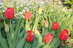 Tulips red. Tulips bloom in the spring garden Stock Images