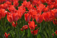 Tulips red field stock image
