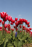 Tulips. Red tulips field with blue sky Royalty Free Stock Photos
