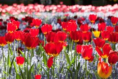 Tulips red flowerbed ray of the sun royalty free stock photos