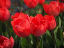 Tulips, Red, Flowers, Spring, Close Stock Image