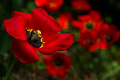 Tulips. Red tulips flowers in the spring garden Royalty Free Stock Photography