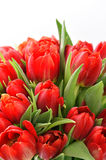 Tulips red fresh with water drops Stock Image