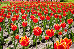 Tulips red fringed Royalty Free Stock Image
