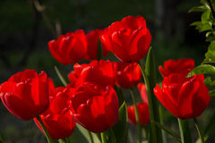 Tulips. Red tulips in the garden Royalty Free Stock Photos