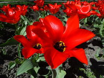 Tulips. Red tulips in the park Stock Images