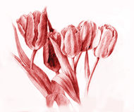 Tulips.Red  Pencil Drawing Stock Photo