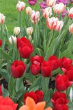 Tulips red pink Stock Image