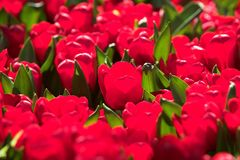 Tulips red  ray of the sun Stock Image
