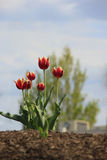 Flowers. Red Springtime Tulips in full bloom Stock Photos