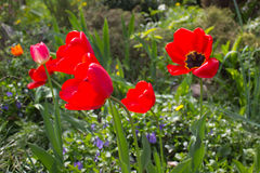 Tulips Red Royalty Free Stock Photography