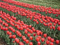 Tulip farm Royalty Free Stock Images