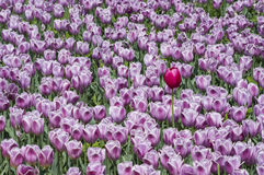 Tulips. Red tulips Violet china spring Stock Photos