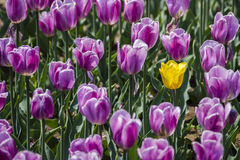 Tulips. Red tulips Violet china spring Stock Images
