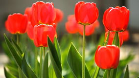 Tulips. Red tulips waving on the wind stock footage