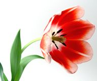 Tulips Red and White. Close up red and white tulip in bloom stock photo