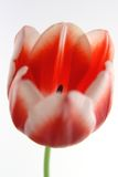Tulips Red and White. Close up red and white tulip in bloom Stock Photos
